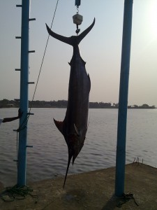 Atlantic Blue Marlin Liberia